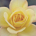 Gold Medal Rose by Cindy Garber Iverson
