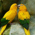 Gold Parakeets by FL collection