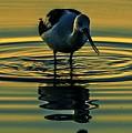 Gold Pond Avocet by John R Williams