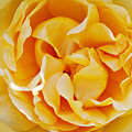 Gold Rose 1 by Art Block Collections
