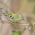 Goldcrest by Peter Walkden