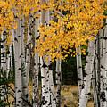 Golden Aspen by Bob Phillips
