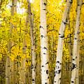 Golden Aspens by Joan Baker