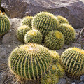 Golden Barrel Cactus by Buddy Mays