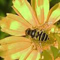 Golden Bee by Karol Livote