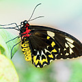 Golden Birdwing Butterfly - Troides Rhadamantus by Cristina Stefan