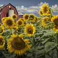 Golden Blooming Sunflowers With Red Barn by Randall Nyhof