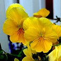 Golden Blooms Beside The Porch by Mary Deal