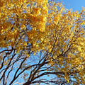 Golden Boughs by Rhonda Chase