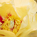 Golden Bowl Tree Peony Bloom by Patti Deters