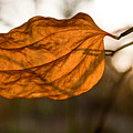 Golden Briar Leaf by Douglas Barnett
