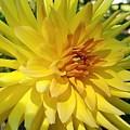 Golden Dahlia Beauty by Jane Powell