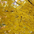 Golden Canopy by Karin  Dawn Kelshall- Best