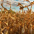 Golden Crop by Brian Kenney