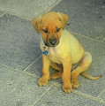 Golden Cunucu Puppy In Aruba by DejaVu Designs