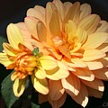Golden Dahlia With Bud by Jean Clarke