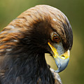 Golden Eagle Bowed Head by Sue Harper