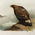 Golden Eagle By Thorburn by Archibald Thorburn