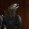 Golden Eagle Calling To The Sun by Sue Harper