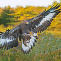 Golden Eagle by CR  Courson