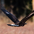 Golden Eagle Flying by Torbjorn Swenelius