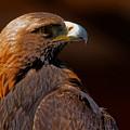 Golden Eagle In The Summer Sun by Sue Harper