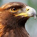 Golden Eagle Intensity by Sue Harper