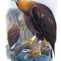 Golden Eagle Antique Print John Gould Birds Of Great Britain by Orchard Arts