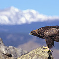 Golden Eagle by John Hyde - Printscapes