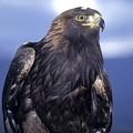 Golden Eagle by Larry Allan