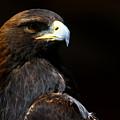 Golden Eagle On Black by Sue Harper