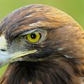 Golden Eagle by Shane Bechler