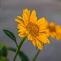 Golden Flower II by Tammy Bryant