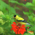Golden Garden Visitor by Ola Allen