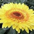 Golden Gerbera Daisy by Jeannie Rhode