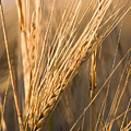 Golden Grain by Cindy Singleton