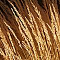 Golden Grass by Douglas Barnard