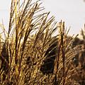 Golden Grass Flowers by Douglas Barnett