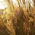 Golden Grass In Sunset by Douglas Barnett