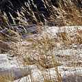 Golden Grasses In Sun And Snow by Sandy Swanson