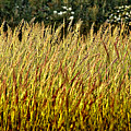 Golden Grasses by Meirion Matthias