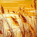 Golden Grasses by Sybil Staples
