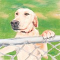 Golden Lab Wally by Nancy Beauchamp