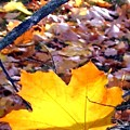 Golden Leaf by Will Borden
