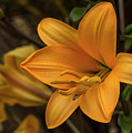 Golden Lilies by Bruce Frye