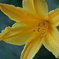 Golden Lily 2 by Barbara S Nickerson