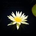 Golden Lily by Milena Ilieva