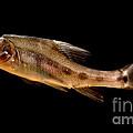 Golden Line Barbel by Dant� Fenolio