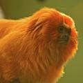 Golden Lion Tamarin by Paul Mangold