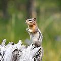 Golden Mantled Ground Squirrel by Brad Christensen